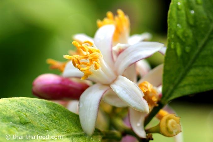 ดอกมะนาว