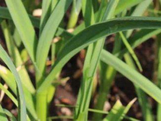 กระเทียม (Garlic) เป็นพืชสมุนไพร