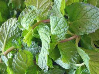 สะระแหน่ (Kitchen Mint) เป็นพืชสมุนไพร เป็นพืชประเภทไม้เลื้อยคลุมดิน ในสกุลตระกูลมิ้นต์