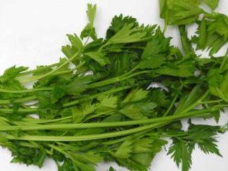 ขึ้นฉ่าย (Chinese Celery) เป็นพืชสมุนไพร