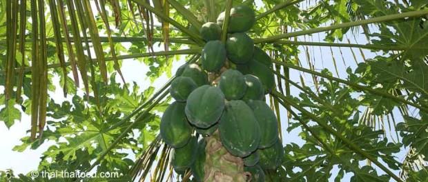 มะละกอ (Papaya) เป็นไม้ล้มลุก เป็นไม้ผลชนิดหนึ่ง