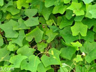 ตำลึง (Ivy Gourd) เป็นพืชผักสมุนไพร เป็นไม้เลื้อยที่มีมือจับ ใช้สำหรับเลื้อยเกาะต้นไม้ใหญ่