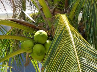 มะพร้าว (Coconut) พืชผลสมุนไพร เป็นพืชยืนต้น มีลำต้นเดี่ยวตั้งตรง