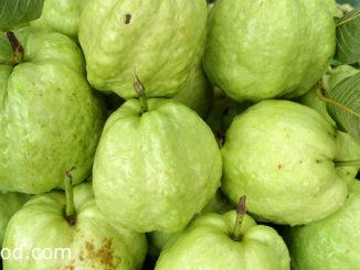 ฝรั่ง-guava เป็นไม้ยืนขนาดกลาง เป็นผลไม้ มีรสชาติหวานกรอบ มีกลิ่นหอม