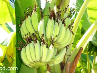 กล้วย (Banana) เป็นพืชผลไม้สมุนไพร เป็นไม้ดอกล้มลุก
