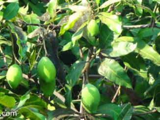 มะม่วง (Mango) ผลทรงรี เปลือกบาง ผลอ่อนมีสีเขียว ผลสุกมีสีเหลือง เนื้อสีเหลือง รสชาติหวานฉ่ำ มีกลิ่นหอม มีถิ่นกำเนิดในประเทศอินเดีย