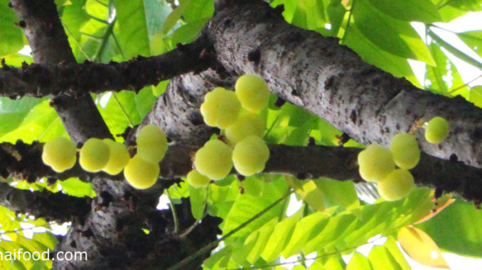 มะยม (Star Gooseberry) ผลทรงกลม เว้านูนเป็นพูรอบผล สีเขียวอมเหลือง มีรสชาติเปรี้ยว