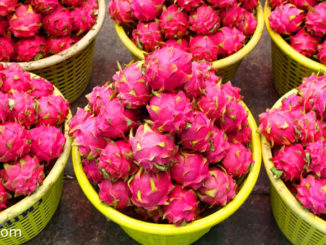 แก้วมังกร (Dragon Fruit) เป็นพืชล้มลุกในตระกูลกระบองเพชร