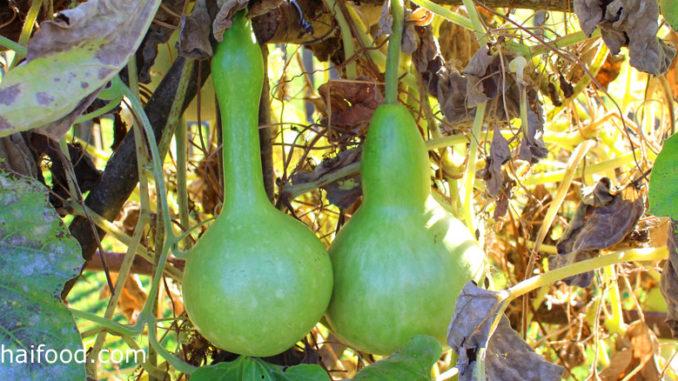 น้ำเต้า (Bottle Gourd) ผลมีรูปร่างต่างๆหลากหลาย มีลักษณะทรงรี ทรงกระบอก ทรงแป้น ทรงกลมมีคอคอด มีคอยาว ตามสายพันธุ์ มีเปลือกแข็งผิวเรียบสีเขียวอ่อน เนื้อนุ่มชุ่มน้ำ