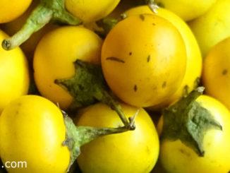มะเขือขื่น (Yellow Fruit Nightshade) มีหนามแหลมคมปกคลุม ผลทรงกลม ผิวเรียบเป็นมัน ผลดิบสีเขียวมีเส้นลายขาว เนื้อเหนียวฉ่ำน้ำ รสชาติขื่นฝาดเฝื่อน ผลสุกสีเหลือง