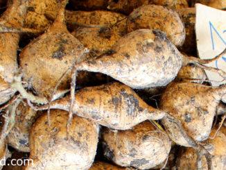 มันแกว (Jicama) เป็นพืชล้มลุกเถาเลื้อย มีรากแก้วเป็นที่สะสมอาหาร แล้วขยายตัวออกเป็นหัวอยู่ใต้ดิน มีทรงกลมแป้น มีขนาดใหญ่หรือขนาดเล็ก ตามสายพันธุ์ มีสีน้ำตาลอ่อน