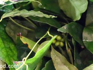 ย่านาง (Yanang) เป็นสมุนไพรพื้นบ้านของไทย เป็นไม้เถาเลื้อยยื่นต้น ใบทรงรีโคนใบมน ปลายใบเรียวแหลมสีเขียว ใช้ใบทำเครื่องดื่มได้ ใช้เพิ่มความกลมกล่อมอาหารของเมนูต่างๆ