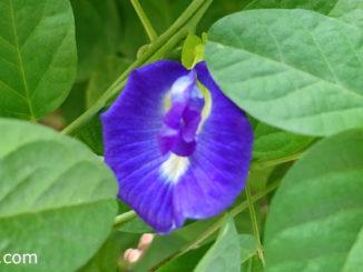อัญชัน (Butterfly Pea) เป็นไม้เถาเลื้อย ดอกมีหลายสี ได้แก่ สีฟ้า สีน้ำเงินเข้ม สีน้ำเงินอมม่วง หรือสีขาว