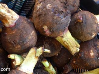 เผือก (Taro) มีลำต้นเป็นหัวอยู่ใต้ดิน จะเก็บสะสมอาหาร หัวมีลักษณะทรงกลมรี หัวเล็กหรือหัวใหญ่ ตามสายพันธุ์ มีเปลือกบางหรือมีขนขรุขระ ตามสายพันธุ์ มีสีน้ำตาลเข้ม