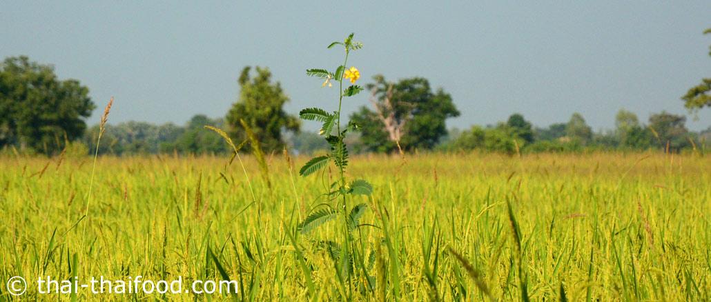 โสน (Sesbania) เป็นพืชผักสมุนไพร ชอบอาศัยอยู่ในน้ำขัง อยู่ตระกูลเดียวกับแค ลำต้นเป็นไม้เนื้ออ่อนและกลวงเปราะบาง ดอกเป็นช่อคล้ายดอกแค กลีบดอกมีสีเหลือง รสชาติจืดมัน