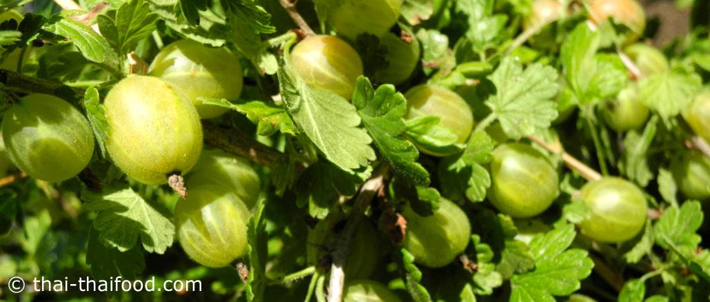 กูสเบอร์รี (Gooseberry) อยู่ตระกูลเบอร์รี ผลทรงกลมรี ปลายผลมีจุกเล็กๆ เปลือกบางมีขนเล็กๆทั่วผล มีลายเส้นตามยาวรอบผล ผลอ่อนสีเขียว ผลสุกสีแดงเข้ม เนื้อสีใสเนื้อนุ่มฉ่ำน้ำ