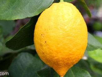 เลมอน(Lemon) เป็นพืชตระกูลส้ม ลำต้นมีหนามแหลมยาวที่ปลายยอด ผลมีทรงกลมรี ปลายผลมีติ่งแหลม ผลสุกสีเหลืองสด มีเนื้อฉ่ำน้ำ มีเมล็ดจำนวนมากๆ รสชาติเปรี้ยวจัด