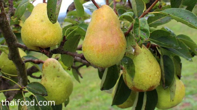 แพร์ (Pear) ผลทรงกลมยาว โคนเรียวเล็ก ปลายผลกลมใหญ่ ผิวเปลือกบางเรียบ มีแกนกลางแข็ง ผลสีเขียวอมเหลือง สีเขียว สีเหลือง สีแดง สีน้ำตาล ตามสายพันธุ์ เนื้อนุ่มฉ่ำน้ำสีขาวนวล