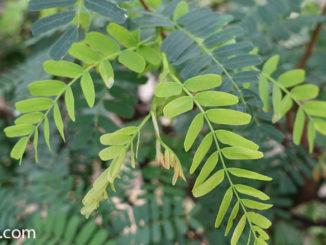 ใบมะขามอ่อน (Young Tamarind leaves) ใบประกอบแบบคู่ เป็นใบย่อยออกคู่บนก้านใบ ใบมีลักษณะทรงรีเล็กๆ โคนใบมน ปลายใบมนรี ขอบใบเรียบ ใบเป็นมัน มีสีเขียว มีรสชาติเปรี้ยว