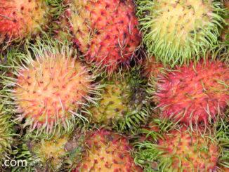เงาะโรงเรียน (School Rambutan) ผลทรงกลมรี เปลือกมีสีแดง มีขนยาวสีแดง ปลายขนมีสีเขียว ปกคลุมทั่วผล เปลือกหนาแกะออกง่าย เนื้อนุ่มฉ่ำน้ำ สีขาวใส รสชาติหวานกรอบหอม มีเมล็ดอยู่ข้างในเนื้อ เนื้อร่อนเมล็ด หรือเนื้อติดเมล็ดแน่น ตามสายพันธุ์