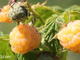 ราสเบอร์รีสีเหลือง (Golden Raspberry) อยู่ในตระกูลเบอร์รี เป็นราสเบอร์รีพันธุ์หนึ่ง เป็นพืชล้มลุกขนาดเล็ก แตกกิ่งก้านเลื้อยได้ ผลเป็นผลเดี่ยว อยู่เป็นพวง มีลักษณะรูปกรวย ด้านในกลวง คล้ายรูปหัวใจ ผิวเปลือกมีปุ่มกลมเล็กๆอยู่บนผล มีขนเล็กๆบางๆอยู่ทั่วผล ผลอ่อนสีขาว ผลสุกจะมีสีเหลือง มีเนื้อสีเหลือง เนื้อนุ่มฉ่ำน้ำ มีรสชาติหวานหรือเปรี้ยว